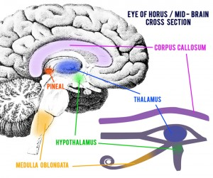 Eye-of-Horus-Mid-Brain-Cross-Section2-300x251