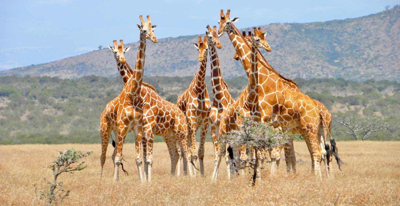 SANParks-Kruger-National-Park-Giraffe-Herd.jpg